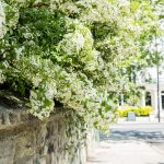 Blossom overhanging a brick wall in Kensington